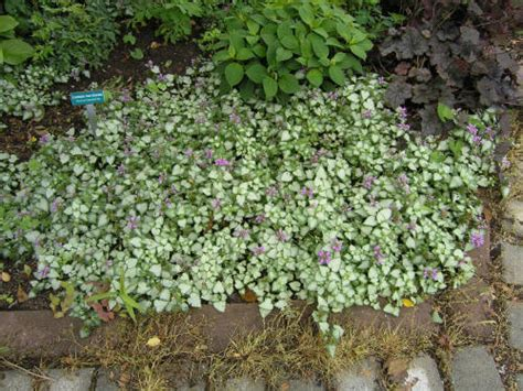 Spotted Deadnettle