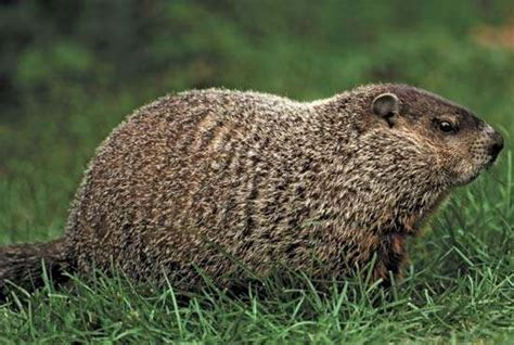 groundhog day quora is the animal in this picture a muskrat or a beaver or