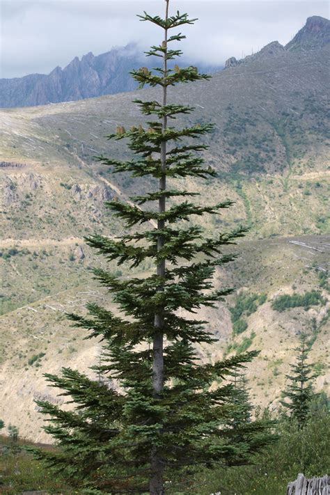 noble fir tree pictures abies procera noble fir publish with glogster