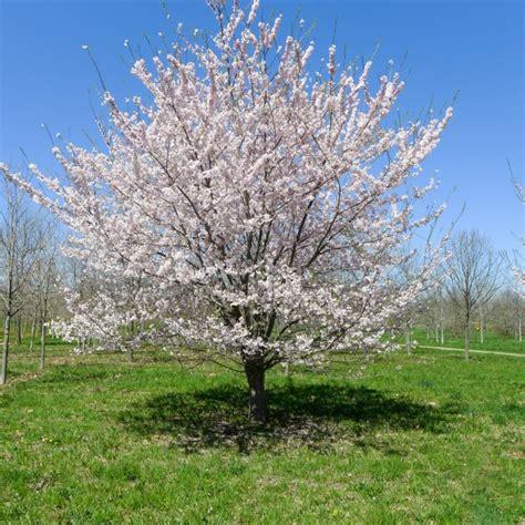 6 cherry tree cherry hill nj yoshino cherry low branched halka nurseries