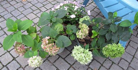 views from the garden how to care for potted mophead hydrangea