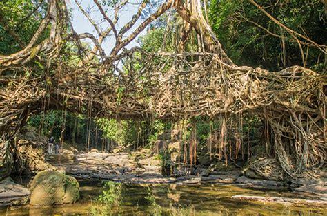 living bridges living root bridges of cherrapunjee tucker