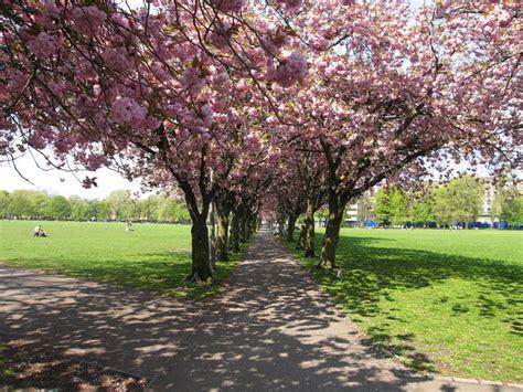 file cherry trees coronation walk geograph org uk 167692 jpg wikimedia commons