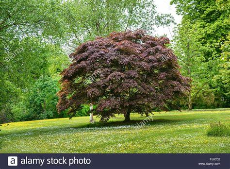 maple tree kingdom japanese maple acer palmatum bloodgood acer palmatum bloodgood stock photo 97256854 alamy