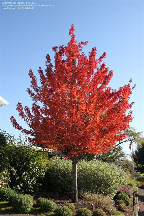 maple tree information plantfiles pictures maple scarlet maple frank jr acer rubrum by kahuna1342