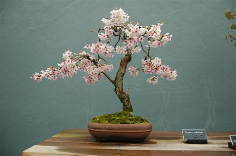 a cherry tree bonsai bonsai gakusei may 2010