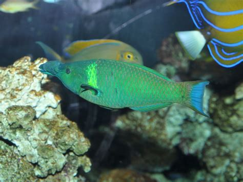 green bird wrasse the gallery for gt green bird wrasse