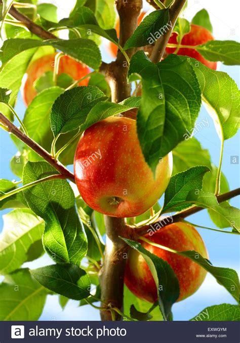 Baum Mit Roten Blättern 136 by 196 Pfel Am Baum Stockfotos 196 Pfel Am Baum Bilder Seite 2