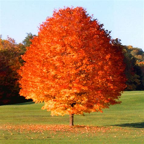 fast growing trees top 30 fastest growing trees for your home fast growing