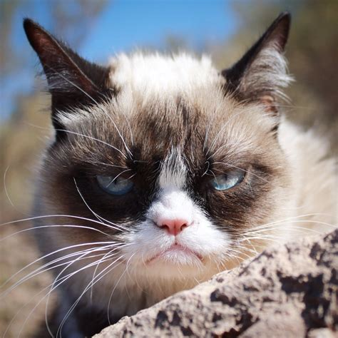 picture of a cat grumpy cat realgrumpycat