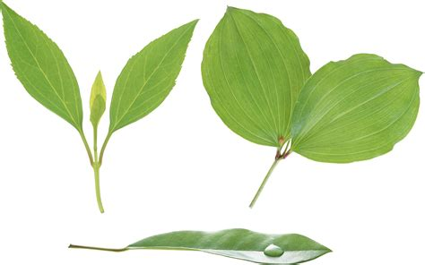 with leaves green leaves png images free pictures