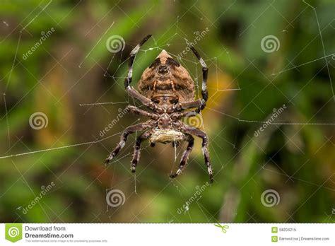 Garden Spider Prey Common Garden Spider On Cobweb Stock Photo Image
