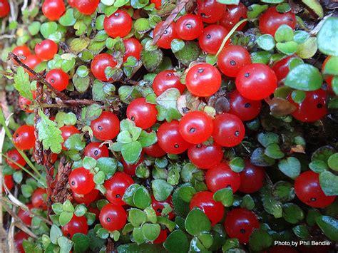 bead plant nertera depressa bead plant pincushion coral moss