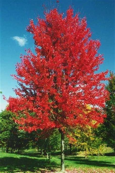 autumn blaze 174 maple