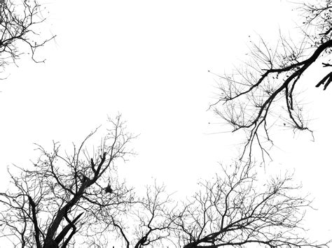 black and white tree free black and white tree branch plant nature texture