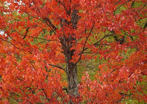 maple tree types types of maple trees leaves things about trees