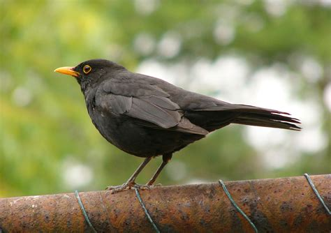 black bird file blackbird 2 jpg
