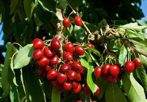 bada cherry tree ison s nursery vineyard