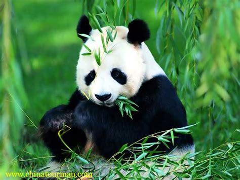 panda china panda photos panda pictures panda photos panda
