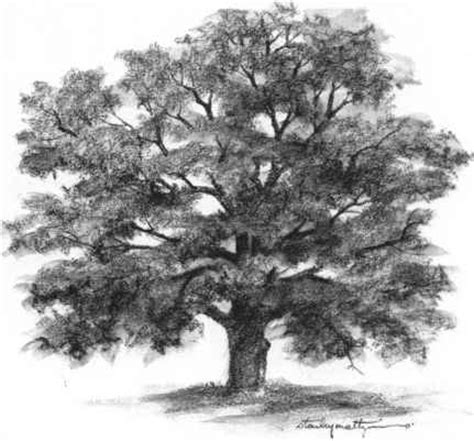 tree realistic realistic oak tree drawings drawing nature joshua nava
