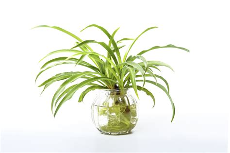 plants in water growing a spider plant in water leaving rooted spider