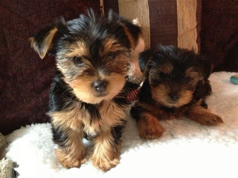 yorkshire terrier sale standard size yorkshire terrier puppies for sale wigan