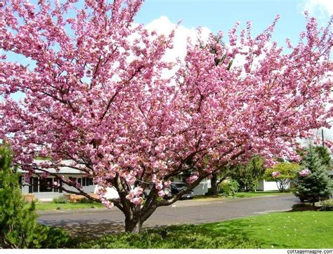 6 cherry tree road 21 best images about prunus serrulata on trees prunus and traditional names