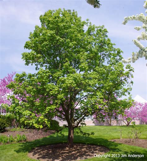 maple tree small yard smaller shade trees to consider for your garden