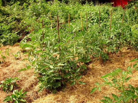 straw mulch vegetable garden about tomato mulch when and how to mulch tomatoes