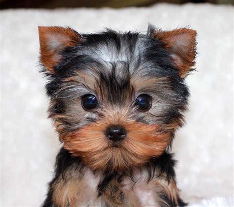 yorkshire terrier sale micro teacup yorkie price www pixshark images
