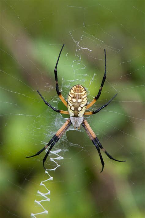 Garden Spider Photos Black And Yellow Garden Spider Argiope Aurantia