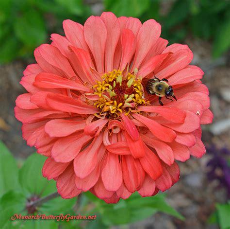 zinnia flower garden 5 big zinnia flowers for busy butterfly garden growing tips