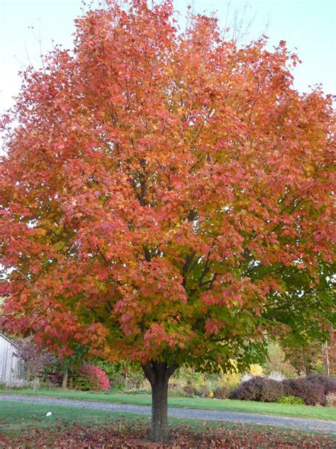 maple tree facts sugar maple tree information pictures to pin on pinsdaddy