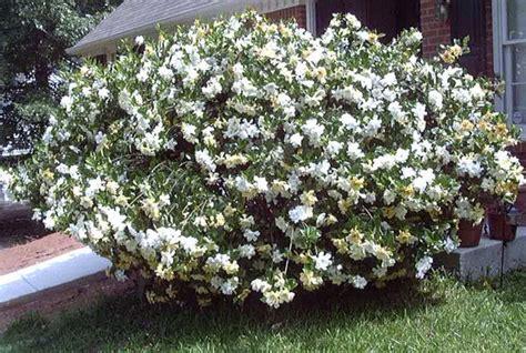 Gardenia Bush Gardenia Bush