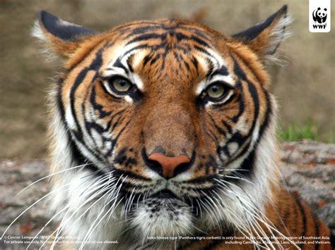 of tiger tiger wallpapers sumatran tiger wallpapers