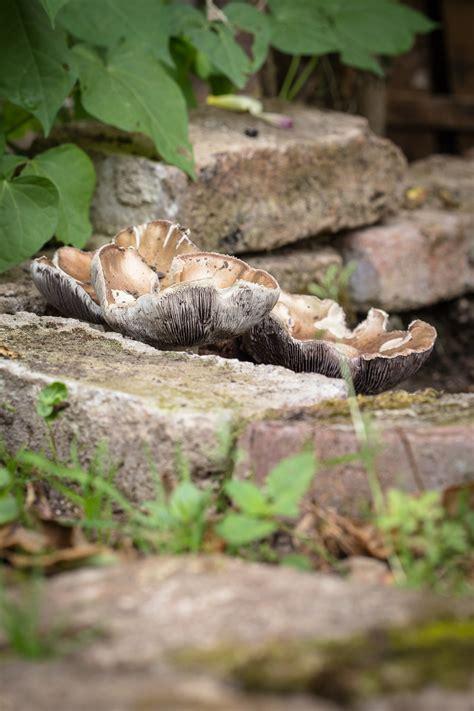 Pilze Im Garten Züchten by Essbare Pilze Im Garten Z 252 Chten