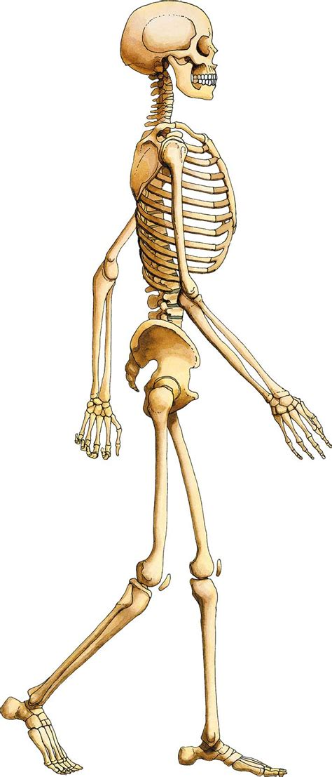 a skeleton what is the purpose of a skeleton unsworth primary school