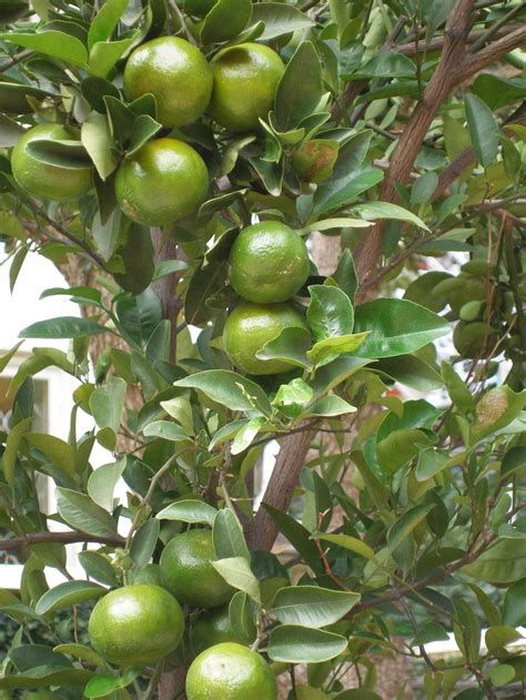 lime tree lime tree tropical gardening