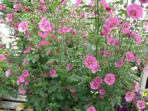 anisodontea conseils de plantation culture en pot et au jardin taille et entretien de cet