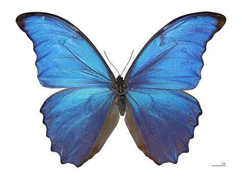 of a butterfly morpho