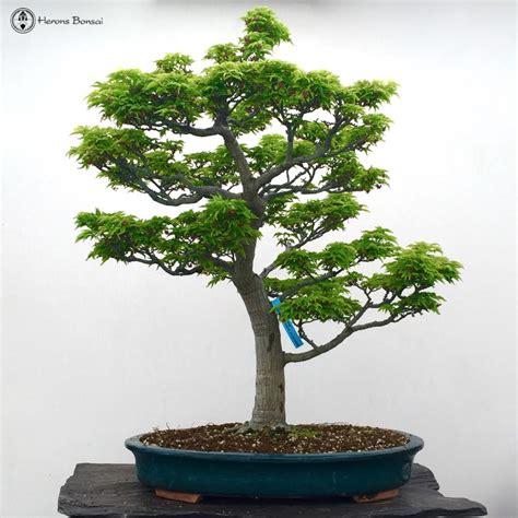 ungrafted shishigashira maple bonsai tree for sale from herons bonsai