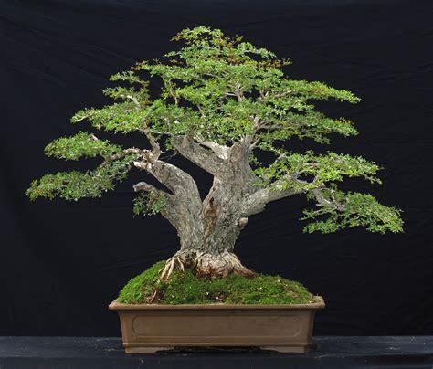 black mini tree black olive bonsai trees
