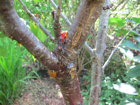 cherry tree pests cherry tree insect disease ask an expert
