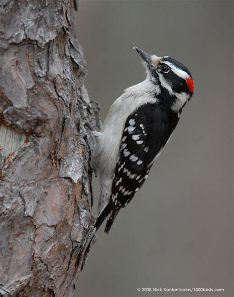 the woodpecker woodworking woodpecker animal wildlife