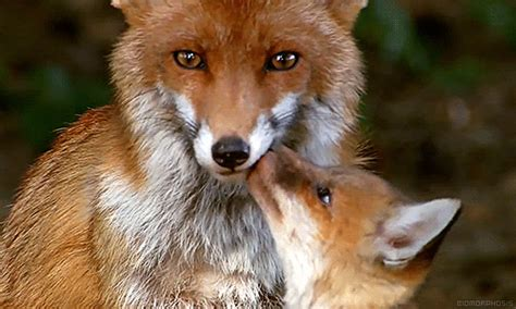 search fox animals gifs find on giphy