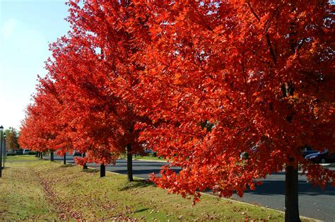 autumn blaze maples what are the benefits fast growing trees