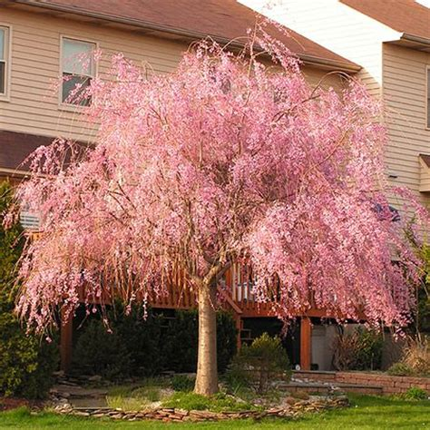 25 unique flowering trees ideas on pink