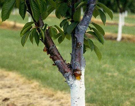 cherry tree fungus cherry prunus spp bacterial canker pacific northwest pest management handbooks