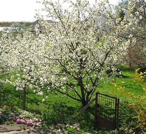 cherry tree zone 9b prunus avium gisela root stock combination sweet cherry plant lust