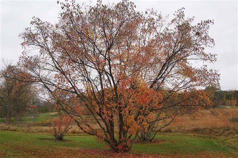 maple tree zone 10 trees that grow perfectly in zone 6